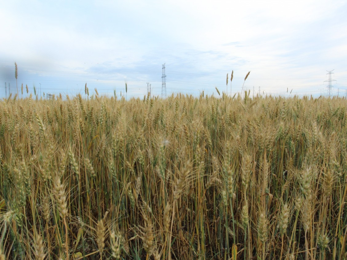 Wheat near Mill Woods. Photo by Christina Hardie